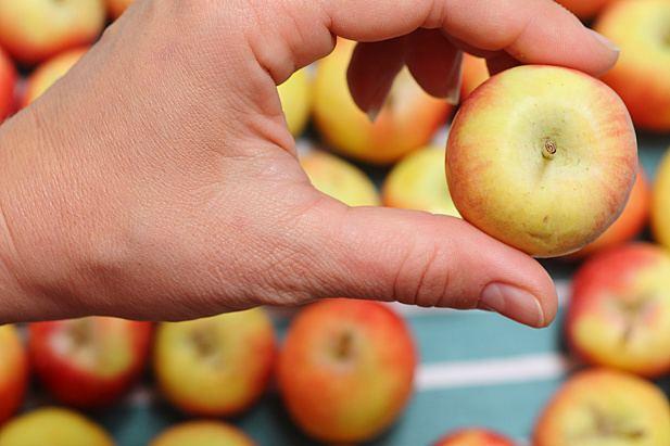 holding Crimson Gold apple
